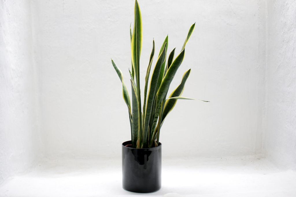 Tall leaf green plant in black pot on white background wall