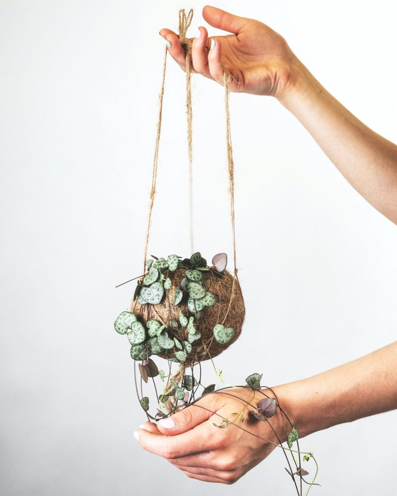 hands carrying string of hearts indoor plant leaves